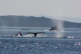 Whales and another boat near by our boat. , WEILIN C - September 2013