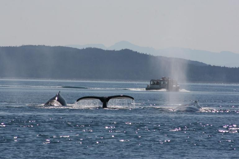 Junean Whale-Watching Best Photo I took - Juneau