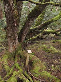 Photo of Launceston Cradle Mountain National Park Day Tour from Launceston old tree
