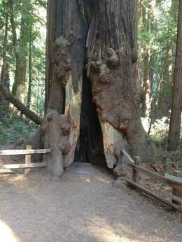 Photo of San Francisco Muir Woods, Giant Redwoods and Sausalito Half-Day Trip One of the trees along the trail