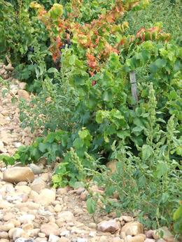Photo of Avignon Rhone Valley Wine Tour from Avignon: Chateauneuf-du-Pape and Tavel Rocky grapevines