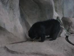 A small black bear playing., Bandit - June 2012