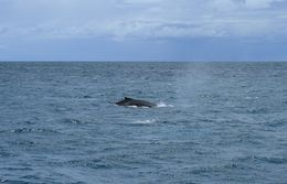 Humpback powering through the water near Fremantle , SpindleA - January 2016