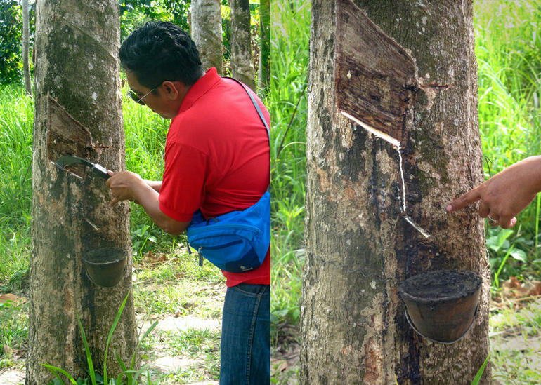 The tour guide explains how to draw liquid rubber from the area's old rubber tree plantation