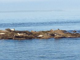 A piles of lazy seals!!! , Areeya - November 2015