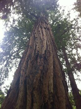 Photo of Napa & Sonoma San Francisco Supersaver: Muir Woods and Wine Country Tour up the redwood