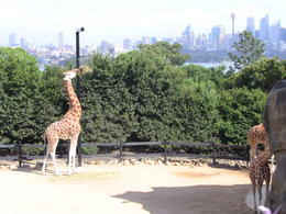 The best view in the world is taken by the Giraffes at Sydney's Taronga Park Zoo , abacab - May 2013