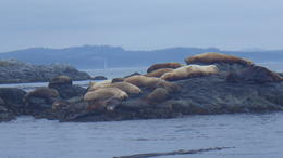 Two types of sea lion - Stellar and Californian - basking on Race Rocks. , Jayne M - August 2013