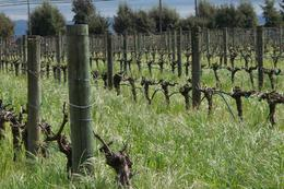 Cline's wine acreage starting to bloom in March, Brenda M - March 2009
