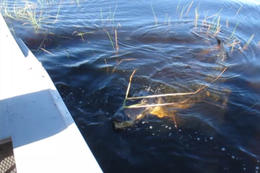 Alligator up close to the boat! - January 2012