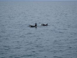 Orca whales - a whole family! - July 2010