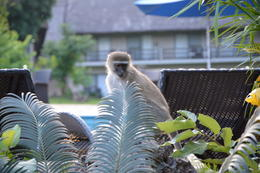 Photo of Johannesburg 3-Day Victoria Falls Tour with Round-Trip Flight from Johannesburg Poolside Monkey