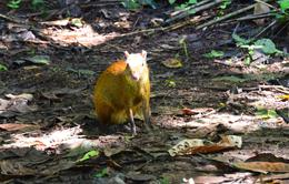 Photo of San Jose San Jose Tropical Rainforest Adventure including Chocolate Tasting Rodent