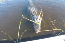 Photo of Fort Lauderdale Florida Everglades Airboat Adventure and Wildlife Encounter Ticket Alligator