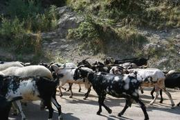 On the way to Amalfi, we ran into couple of goat herds. They all had bells hanging on their neck. It sounded so beautiful. - August 2010