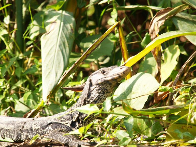 A water monitor - Bangkok