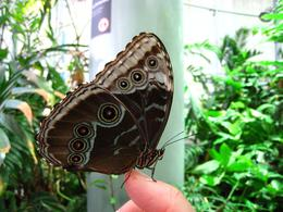 Butterflies fly freely through the rainforest sphere, if you stand still enough one might land on you. - November 2009