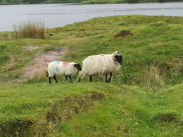 Two of the hundreds of sheep we encountered , James W B - July 2014