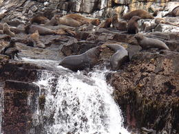 Photo of Hobart Full-Day Bruny Island Tour from Hobart Male fur seals sparing on the rocks off the coast of South Bruny Island