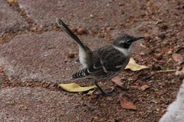 Photo of Galapagos Islands Galapagos Islands Explorer Package from Santa Cruz Island Brown Finch