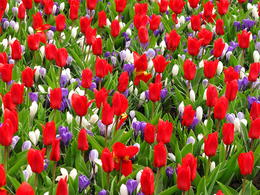 Photo of Amsterdam Keukenhof Gardens and Tulip Fields Tour from Amsterdam tulips and crocus