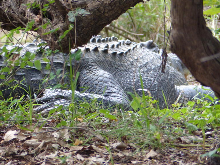 Huge Croc sunning on the riverside