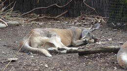 Photo of Sydney Sydney Taronga Zoo General Entry Ticket and Wild Australia Experience Must be nap time for the Kangaroos