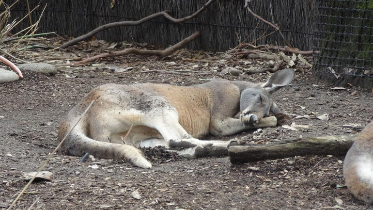 Must be nap time for the Kangaroos - Sydney