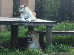 A rare liger (lion/tiger cross) lying under a tiger. Note how huge the liger is! , Alison W - November 2014