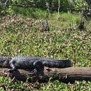 Photo of New Orleans Grand Tour of Cajun Country Alligator