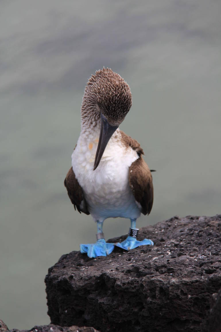 Blue Booby at Tortoga Beach - Galapagos Islands