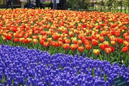 Photo of Amsterdam Keukenhof Gardens and Tulip Fields Tour from Amsterdam Keukenhof Garden, Amsterdam