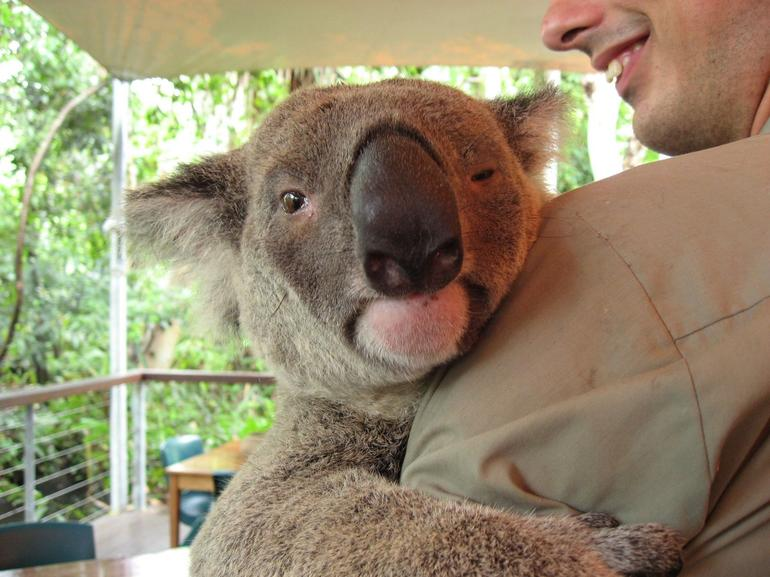 Koala is always here - Cairns & the Tropical North