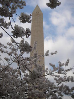 Photo of   Washington Monument through cherry blossoms
