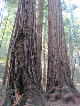 Large Redwoods at Muir , Matthew D - January 2012