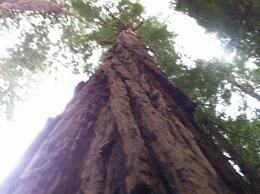 Photo of San Francisco San Francisco Super Saver: Muir Woods and Wine Country Tour Impressive Sequoia tree