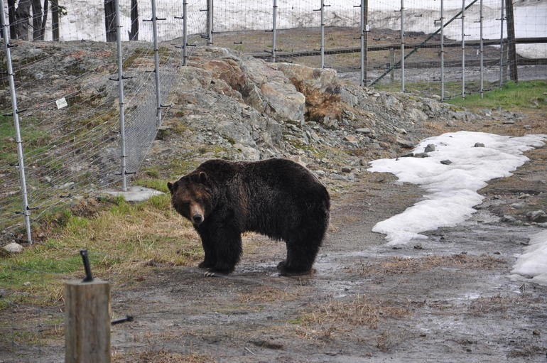Wildlife bear at the Gouse Mountain - Vancouver