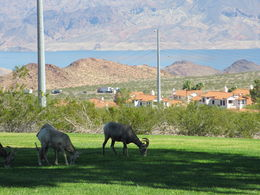 John our driver stopped by this park after dam tour to let us see the big horn sheep .. beautiful lake mead in background , Tad D - October 2015
