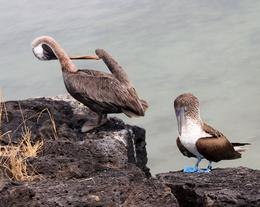 Photo of Galapagos Islands Galapagos Islands Explorer Package from Santa Cruz Island Pelican  and  BB