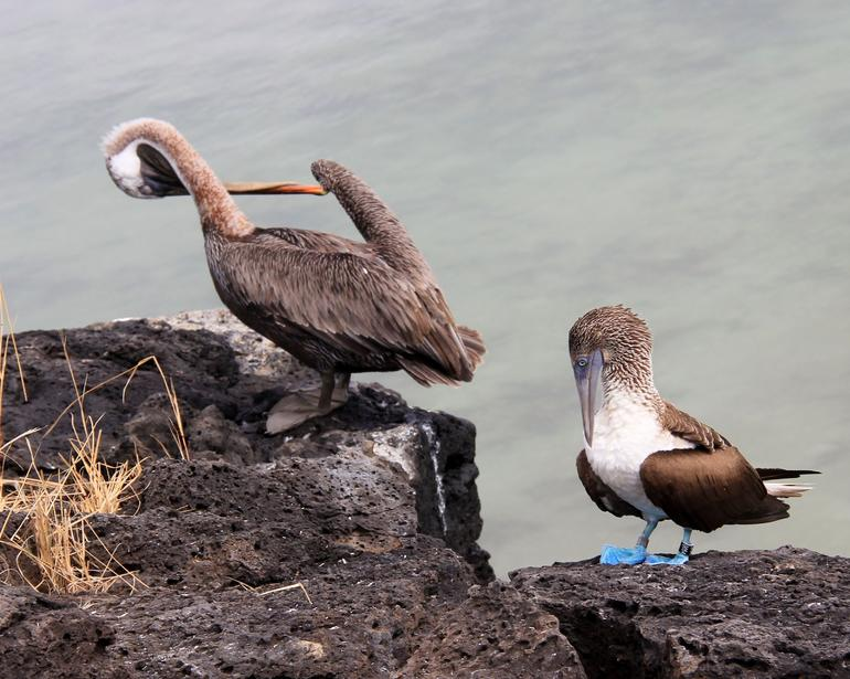 Pelican and BB - Galapagos Islands