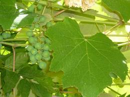 Grapes from the vineyard, AlexB - July 2012