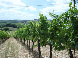 Photo of Florence Tuscany in One Day Sightseeing Tour 2011 vineyards in tuscany