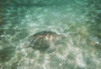 Photo of Cozumel Akumal Bay Sea Turtle and Snorkel Adventure from Cozumel