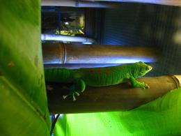 Bright green gecko resting on bamboo. - November 2009