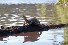 Photo of San Jose Tortuguero National Park Turtle, Tortuguero National Park