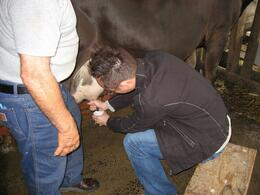 Photo of   Milking a cow