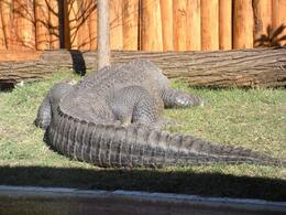 Photo of Orlando Gatorland General Admission Ticket Hidding alligator