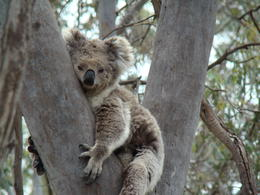 Smokey...the cover girl koala for the tour company. You can see why. , Todd H - November 2012