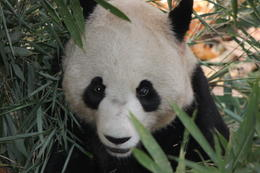 Photo of Chengdu Half-Day Chengdu Panda Breeding Center Tour with Optional Baby Panda Holding Peek-a-boo