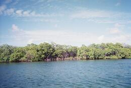 Photo of St Thomas St Thomas Mangrove Lagoon Kayak and Snorkel Tour Beautiful mangroves